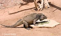 0627-1104  Rhinoceros Iguana Eating, Haiti and Dominican Republic, Cyclura cornuta  © David Kuhn/Dwight Kuhn Photography