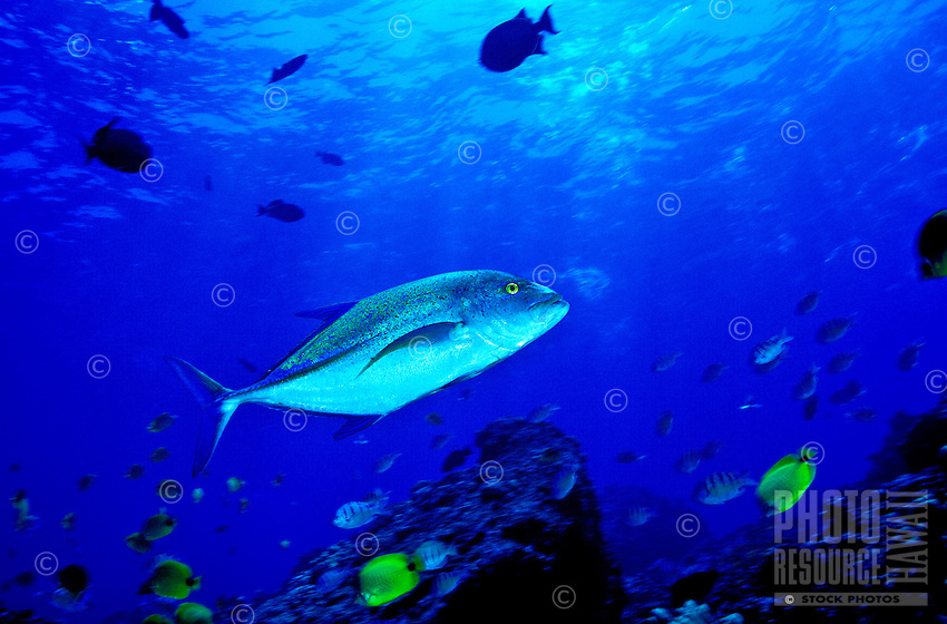 The Bluefin Trevally ( Caranx melampygus) is a larger predatory fish sought after by anglers and spearfishermen. Hawaiian name is ( Ulua ).
