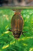 Gelbrandkäfer, Gelbrand-Käfer, Gelbrand, Weibchen beim Luftholen an der Wasseroberfläche, Dytiscus marginalis, great diving beetle, Schwimmkäfer, Dytiscidae