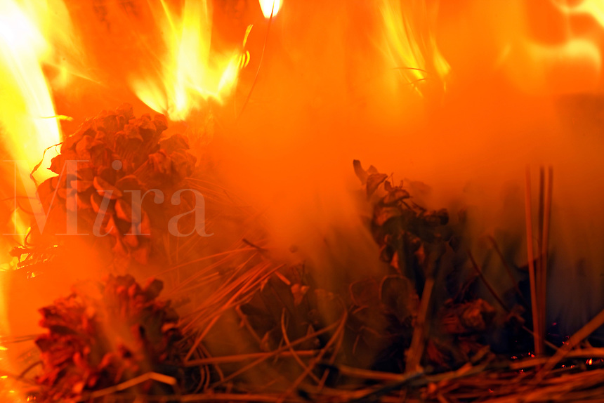 prescribed fire on forest floor burns pine needles and pine cones  of ponderosa pine