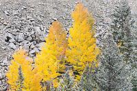 Aspens, Independence Pass road near Aspen