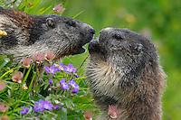 Alpine Marmots (Marmota marmota) feeding on flowers. Hohe Tauern National Park, Carinthia, Austria