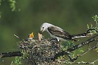 Scissor-tailed Flycatcher (Tyrannus forficatus), female feeding young in nest, Starr County, Rio Grande Valley, Texas, USA