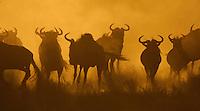 Wild beest or Gnu, Connochaetes taulinus, Serengeti NP, Tanzania