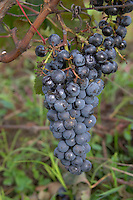Bunches of ripe grapes. Chateau Richelieu, Fronsac, Bordeaux, France