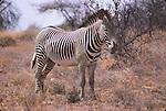 Grevy's zebra in Samburu National Park