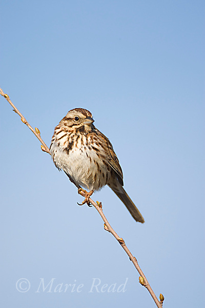 Song Sparrow (Melospiza melodia) male, Montezuma National Wildlife Refuge, New York, USA