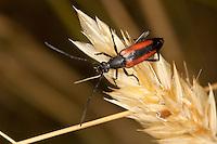 Kleiner Schmalbock, Gemeiner Schmalbock, Schwarzschwänziger Schmalbock, Weibchen, Stenurella melanura, Strangalia melanura