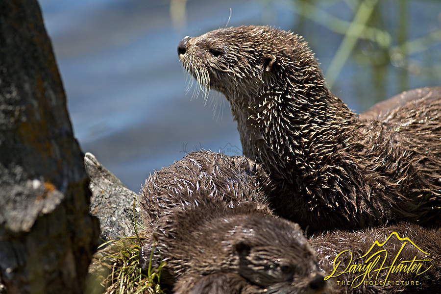 Otters, Trout Lake, Yellowstone National Park