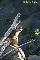 0329-1003  Meerkat, Suricata suricatta  © David Kuhn/Dwight Kuhn Photography.