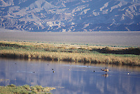 Canada goose, Branta canadensis, and other waterfowl at Saratoga Spring, an oasis at the southern end of Death Valley National Park, California.