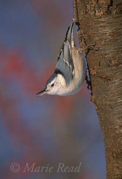 White-breasted Nuthatch (Sitta carolinensis) female with bill open, New York, USA<br /> Slide # B125-91