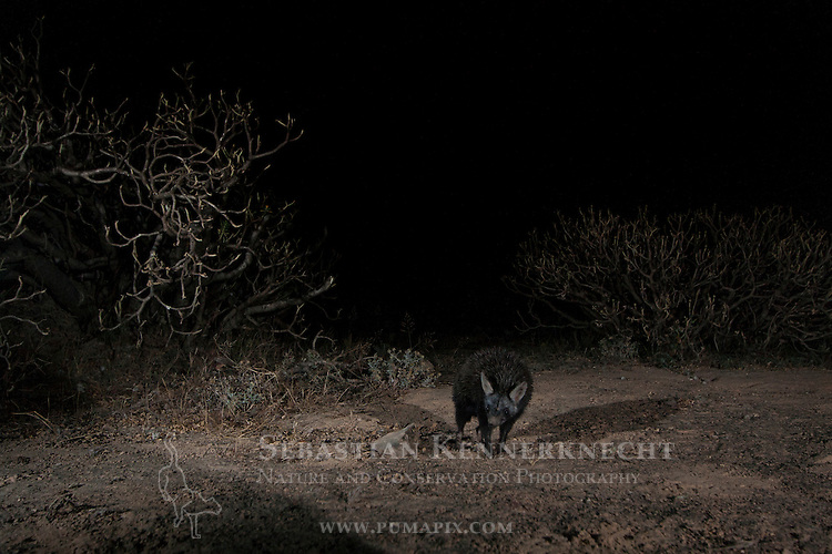 Brandt's Hedgehog (Paraechinus hypomelas) at night, Dhofar Mountains, Oman