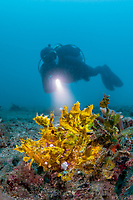 Yellow Rhinopias frondosa with diver in the Lembeh Strait / Sulawesi / Indonesia