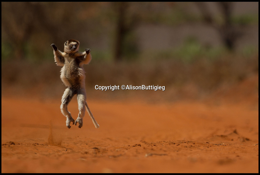 "BNPS.co.uk (01202 558833)<br /> Pic: AlisonButtigieg/BNPS<br /> <br /> ***Pleae Use Full Byline***<br /> <br /> A 'dancing' Verreaux Sifaka, who habitats in Madagascar.<br /> <br /> <br /> verreaux's sifaka<br /> <br /> This is the hilarious moment a group of lemurs scrambled down a tree and burst into a fantastic dance display.<br /> <br /> The primates had been eating berries from the top of the tall bark when they decided to cross a dirt road to a cluster of other trees.<br /> <br /> As they landed on the ground each one burst into an array of impressive dance moves, including twirls, jumps, spins and stretches.<br /> <br /> They boogied their way across the track without stopping and even performed a few acrobatic stunts.<br /> <br /> The elaborate routine only stopped when they reached another trunk and scrambled up to the top.<br /> <br /> The whole thing was captured on camera by Allison Buttigieg, who was watching the lemurs' antics with her boyfriend, Olli Teirila.<br /> <br /> The couple were enjoying a holiday on the island of Madagascar in the hope of photographing the dancing, made famous by the animated DreamWorks film.<br /> <br /> Allison, 34, from Helsinki in Finland, said: ""Part of the reason I wanted to go to Madagascar is because they have lemurs there that look like they are dancing.<br /> <br /> ""We went to a spot where there were a group of them up in the trees and waited for many hours for them to move.<br /> <br /> ""Normally they jump from tree to tree but they had to cross a dirt road, so we were waiting for them to do that.<br /> <br /> ""Eventually they came down from the trees and started doing their little dance.<br /> <br /> ""They are adapted to the trees and they can't crawl so this is why they do it.<br /> <br /> ""I had seen them doing it on documentaries before and I had always said I wanted to go and see them for myself and take photos.<br /> <br /> ""It was very amusing and looked so funny, taking pictures was hard because I couldn't help but stop and just look at them as they did it.<br /> <br /> ""I was ecstatic to get the photos as that was one of the main things I wanted to do, I was really happy."""