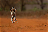 BNPS.co.uk (01202 558833)<br /> Pic: AlisonButtigieg/BNPS<br /> <br /> ***Pleae Use Full Byline***<br /> <br /> A 'dancing' Verreaux Sifaka, who habitats in Madagascar.<br /> <br /> <br /> verreaux's sifaka<br /> <br /> This is the hilarious moment a group of lemurs scrambled down a tree and burst into a fantastic dance display.<br /> <br /> The primates had been eating berries from the top of the tall bark when they decided to cross a dirt road to a cluster of other trees.<br /> <br /> As they landed on the ground each one burst into an array of impressive dance moves, including twirls, jumps, spins and stretches.<br /> <br /> They boogied their way across the track without stopping and even performed a few acrobatic stunts.<br /> <br /> The elaborate routine only stopped when they reached another trunk and scrambled up to the top.<br /> <br /> The whole thing was captured on camera by Allison Buttigieg, who was watching the lemurs' antics with her boyfriend, Olli Teirila.<br /> <br /> The couple were enjoying a holiday on the island of Madagascar in the hope of photographing the dancing, made famous by the animated DreamWorks film.<br /> <br /> Allison, 34, from Helsinki in Finland, said: &quot;Part of the reason I wanted to go to Madagascar is because they have lemurs there that look like they are dancing.<br /> <br /> &quot;We went to a spot where there were a group of them up in the trees and waited for many hours for them to move.<br /> <br /> &quot;Normally they jump from tree to tree but they had to cross a dirt road, so we were waiting for them to do that.<br /> <br /> &quot;Eventually they came down from the trees and started doing their little dance.<br /> <br /> &quot;They are adapted to the trees and they can't crawl so this is why they do it.<br /> <br /> &quot;I had seen them doing it on documentaries before and I had always said I wanted to go and see them for myself and take photos.<br /> <br /> &quot;It was very amusing and looked so funny, taking pictures was hard because I couldn't help but stop and just look at them as they did it.<br /> <br /> &quot;I was ecstatic to get the photos as that was one of the main things I wanted to do, I was really happy.&quot;