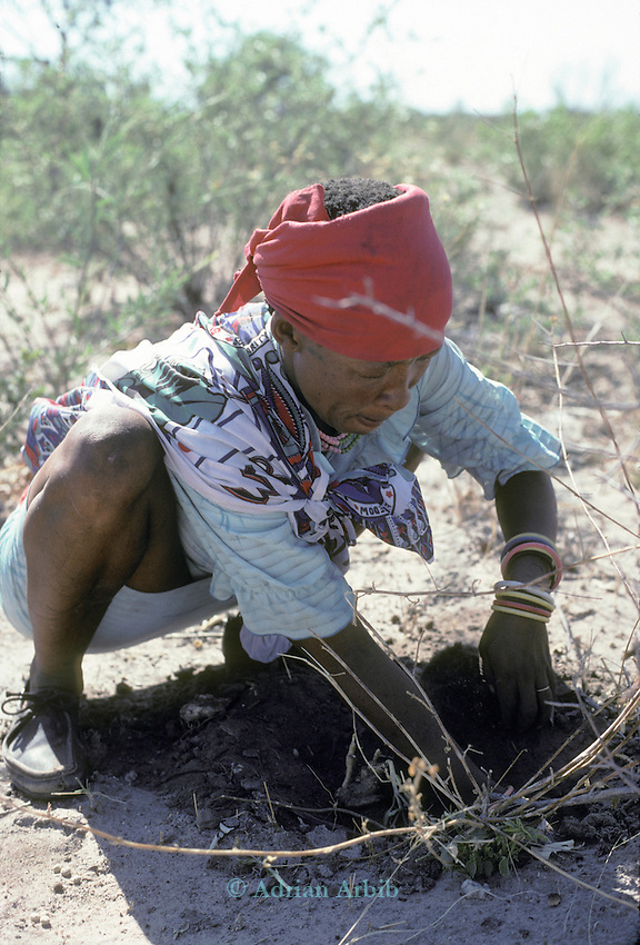 A San woman digging for a  tuber for food<br />  from the desert.Tchumkwe, Bushman development foundation.  Namibia.