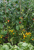 Lettuce Webb's Wonderful, Tomato Shirley, planted with marigolds Tagetes companion planting in vegetable garden of flowers and veggies