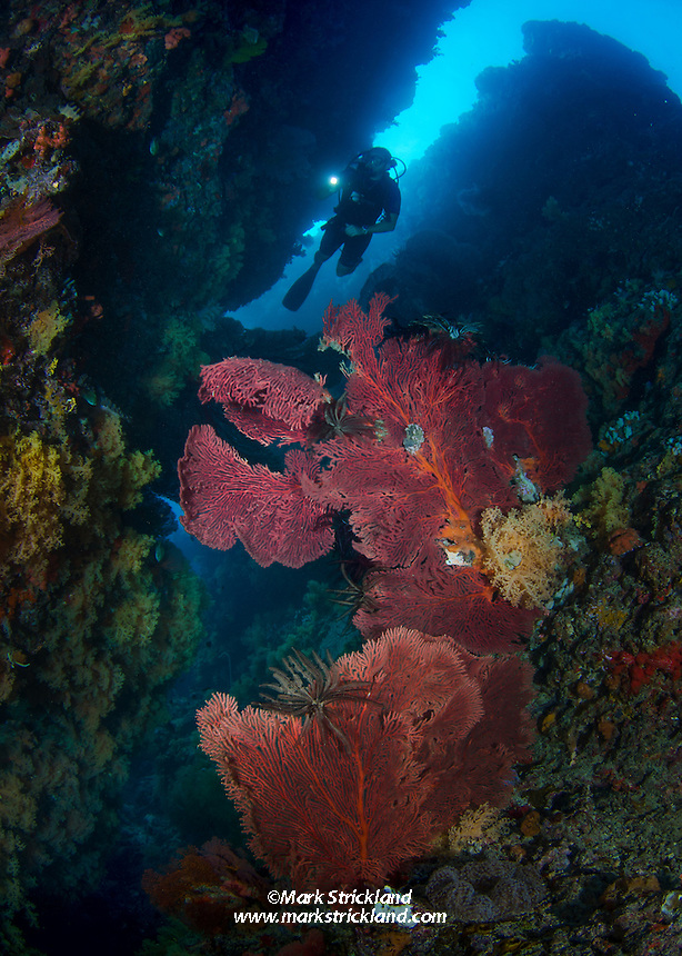 A diver explores a crevice covered with healthy gorgonians and soft corals. Sailstone Reef, Bligh Water, Viti Levu, Fiji, Pacific Ocean