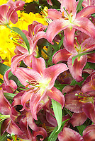 Lilium 'Fire Queen' (Oriental) or Mt. Zuma? lily