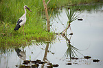 Asian Openbill (Anastomus oscitans) in wetland, Diyasaru Park, Colombo, Sri Lanka