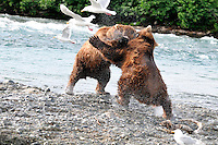 Two brown bears fight for a favored fishing spot at the McNeil River Falls,  in Alaska's McNeil River State Game Sanctuary.