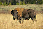 A Bison bull grazes on grassland.