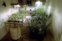 coltivazione di marijuana con luce artificiale in un coffeeshop. growing marijuana with artificial light.