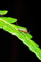 The mosquito (culex quinquefaciatus), Avian Malaria vector.