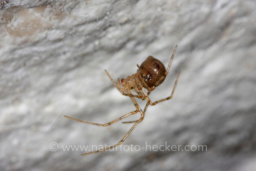 Höhlenspinne, Nesticus eremita, Comb-footed Cellar Spider, Höhlenspinnen, Nesticidae