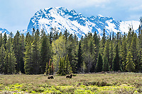 A grizzly's world of jagged peaks, forest and meadows. The Greater Yellowstone Ecosystem is the southern most remaining grizzly habitat in the Lower forty-eight states and the grizzlies are only welcome in about 20% percent of the ecosystem. <br />