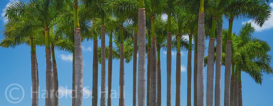 A palm grove near the Port of Miami, Florida.
