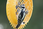Downy Woodpecker (Picoides pubescens) eating from the suet feeder