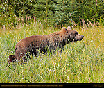 Alaskan Coastal Brown Bear in Sedge Grass, Silver Salmon Creek, Lake Clark National Park, Alaska