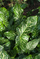 Green and white foliage of Arum italicum plant in dappled shade