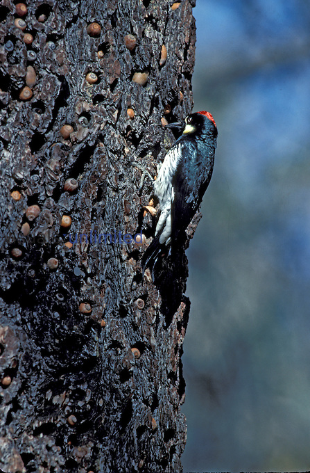 Acorn Woodpecker (Melanerpes formiciverus) on a tree trunk with its cache of stored acorns.