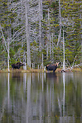 Nancy Brook Scenic Area - Moose on the side of Nancy Pond in the White Mountains, New Hampshire USA.