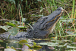 American Alligator, Alligator mississippiensis, in water with head raised up, Everglades National Park, predator.USA....