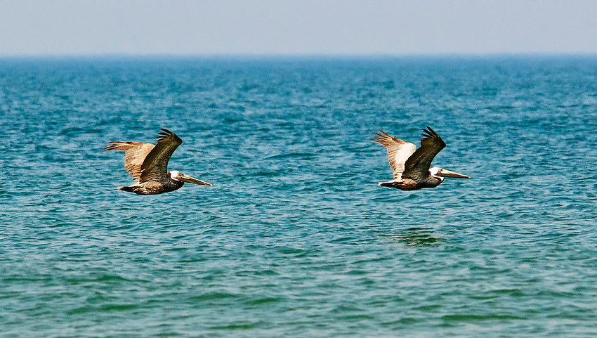 Two brown pelicans flying low over the Atlantic Ocean off the beach at the Outer Banks