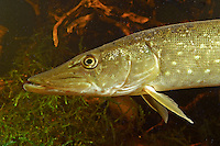 Hecht, Flusshecht, Flußhecht, Fluss-Hecht, Fluß-Hecht, Esox lucius, northern pike