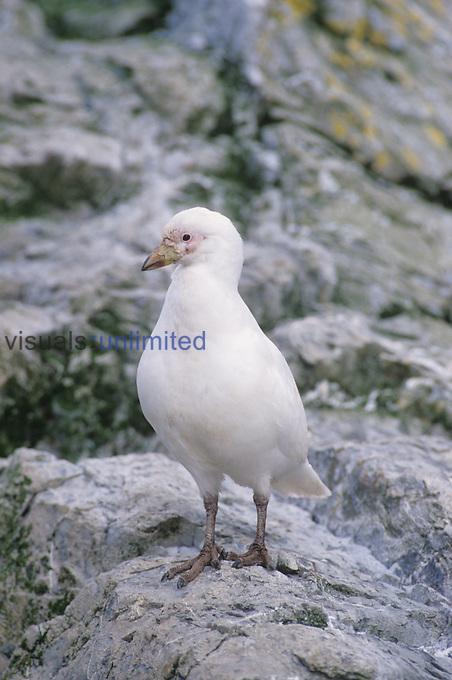 Pale-face Sheathbill ,Chionis alba,, South Georgia Islands.