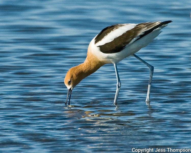 American Avocet, South Padre Island, TX