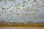 Snow Geese (Chen caerulescens) flock in flight, Bosque Del Apache National Wildlife Refuge, New Mexico, USA