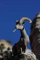 Desert Bighorn Sheep (Ovis canadensis nelsoni) Ram overlooks the rock ridge in Zion National Park, southern Utah.