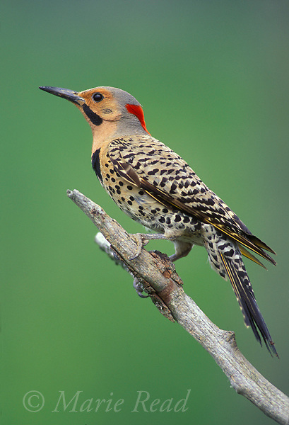 Northern Flicker (Colaptes auratus), yellow-shafted form, adult male, New York, USA<br /> Slide # B96-41