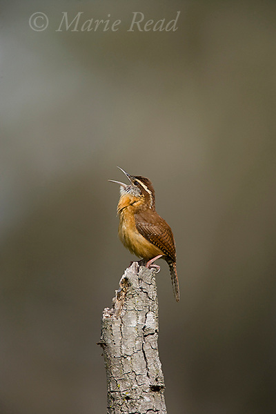 Carolina Wren (Thyrothorus ludovicianus), singing, Lake Kissimmee State Park, Kissimmee, Florida, USA