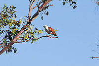 Brahminy Kite, near Cape HIllsbourough NP, Queensland, Australia
