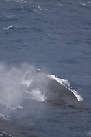 Southern Right whale Eubalaena australis, Male and female surfacing, South Orkney islands, Scotia Sea, Southern Ocean, Antarctica