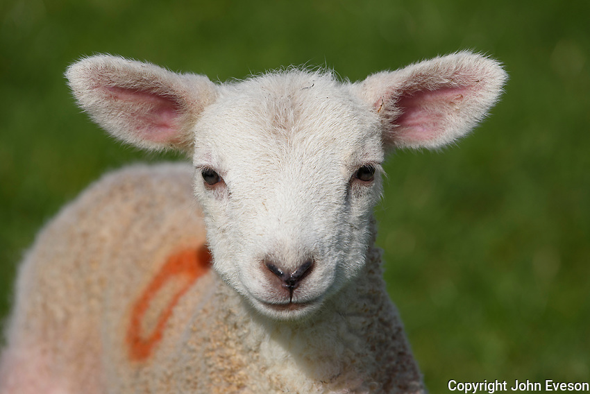 A Texel cross lamb outside, Chipping, Preston, Lancashire.