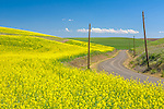 Whitman County, WA      <br /> Country road winds through a field of bright yellow mustard blooming in the Palouse near Dusty, WA